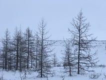 Lariksbomen in noordpoolwoestijn Stock Afbeeldingen