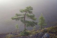Lariksbomen op een helling in de mist stock afbeeldingen