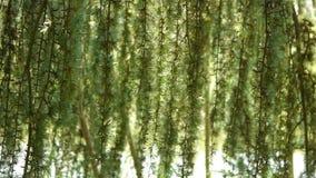 Lariksboom bij een botanische tuin stock footage