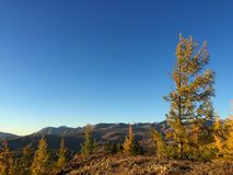 Lariksboom in het midden van de Kurai-steppe De Bergen van Altai De gouden herfst in Altai, Rusland royalty-vrije stock foto