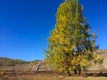 Lariksboom in het midden van de Kurai-steppe De gouden herfst in Altai, Rusland stock foto's