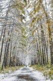 Larikssteeg in park met eerste sneeuw wordt behandeld die Royalty-vrije Stock Afbeeldingen