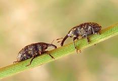 Larinus sturnus. On the leaf Royalty Free Stock Photography