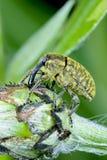 Larinus sturnus, weevil Stock Images