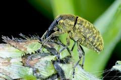 Larinus sturnus, weevil. Larinus sturnus feeding from the plant Royalty Free Stock Image