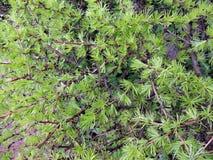 Larix Royalty-vrije Stock Afbeeldingen