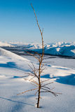 Larix & The Chersky Range (nearly Yagodnoe) Royalty Free Stock Images