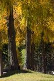 Larix decidua (alerce) Imagen de archivo libre de regalías