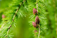 Larix decidua, European larch Stock Photos
