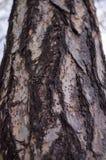 Larix decidua f?r europeisk l?rk sk?ll close upp fotografering för bildbyråer