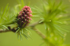 Larix flower Stock Photos