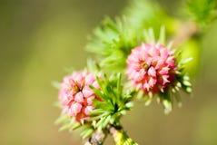 Larix - larch flower Stock Image