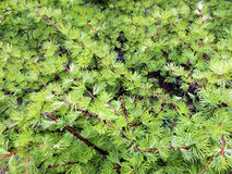 Larix Royalty Free Stock Image