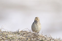 Lark. European lark, perched over spiny bush Stock Images