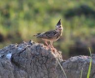 Lark Bird Fotografie Stock Libere da Diritti