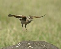 Lark di Rufus-naped (africana di Mirafra) Fotografie Stock Libere da Diritti