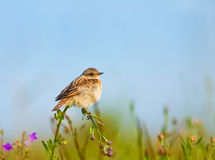 Lark on a flower Royalty Free Stock Photos