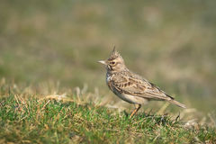 Lark On Ground crestata Fotografie Stock Libere da Diritti