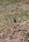 Lark on ground Royalty Free Stock Photos