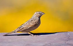 Lark-like Bunting. Sitting in sunshine with a yellow background Royalty Free Stock Photography