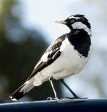 lark magpie roof fotografering för bildbyråer