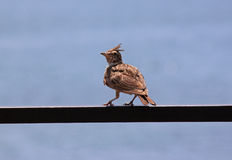 Lark on metallic consruction Royalty Free Stock Images
