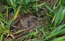 Lark nest with little birdies Stock Images