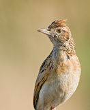 Lark Rufous di Naped Immagine Stock