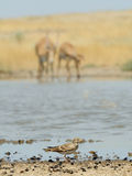 Lark and Saiga antelopes at the watering place in steppe Royalty Free Stock Images