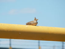 Lark sits on a pipe. Royalty Free Stock Images