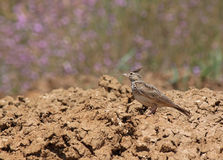 Lark sitting on dry ground Royalty Free Stock Photo