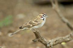 Lark Sparrow Arkivfoto
