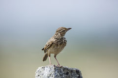 Lark sparrow. A Single Lark sparrow  standing on a stone Royalty Free Stock Image