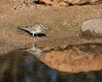 Lark Sparrow Bird immagini stock