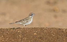 Lark Sparrow Bird. The lark sparrow is a fairly large American sparrow. It is the only member of the genus Chondestes Royalty Free Stock Image