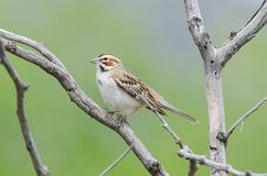 Lark Sparrow on branch. Lark sparrow perched on tree branch at Chatfield state park, Colorado Stock Photography