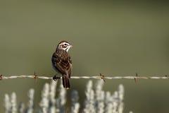 Lark Sparrow, Chondestes grammacus Royalty Free Stock Photos