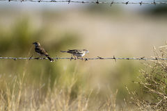 Lark Sparrow, Chondestes grammacus Royalty Free Stock Photos