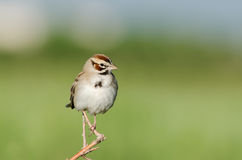 Free Lark Sparrow (Chondestes Grammacus) Royalty Free Stock Photo - 41772045