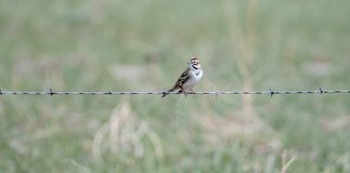 Lark Sparrow Chondestes grammacus On Barbed Wire Fence Stock Photos