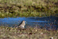 Lark Sparrow, Chondestes grammacus Royalty Free Stock Image