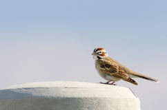 Lark Sparrow (Chondestes grammacus) Royalty Free Stock Photography