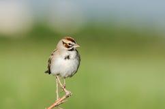 Lark Sparrow (Chondestes grammacus) Royalty Free Stock Photo