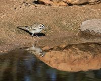 Lark Sparrow Bird. The lark sparrow is a fairly large American sparrow. It is the only member of the genus Chondestes Stock Images