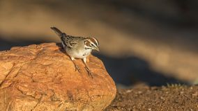 Lark Sparrow Bird. The lark sparrow is a fairly large American sparrow. It is the only member of the genus Chondestes Royalty Free Stock Photography