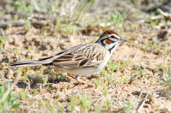 Lark Sparrow Feeding Fotografia Stock