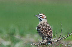Lark Sparrow. In a field royalty free stock image