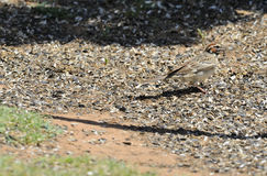 Lark Sparrow. Foraging on ground for seeds, Palo Duro Canyon, Texas Panhandle, United States Stock Photos