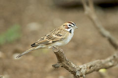 Lark Sparrow. At Llano River State Park in Texas Stock Photo