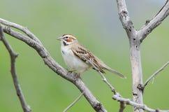 Lark Sparrow på filial Arkivbild